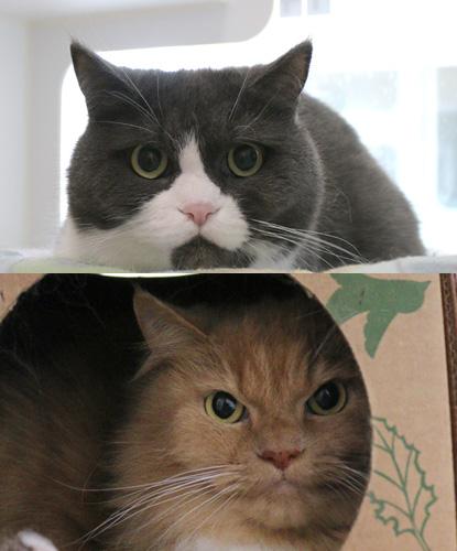 Brown Cat & Grey Cat (Bonded Pair)